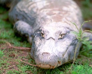 brazil-alligator-s