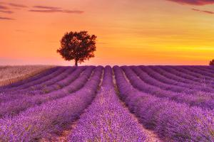 english-lavender-field-with-tree-at-sunset-valensole-valensole-plateau-alpes-de-haute-provence-provence-alpes-cote-d-azur-provence-france-martin-ruegner - Copy - Copy