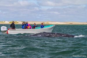 12_grey_whales