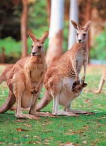 Australia_animal