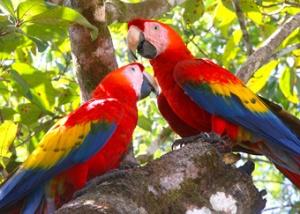 Tiskita macaws