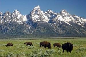 20110727230951_grand-teton-buffalo