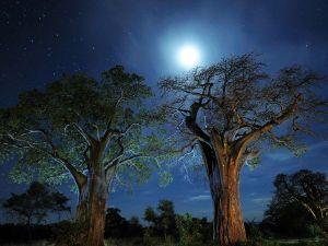 baobab-trees-tarangire-camp_11973_600x450