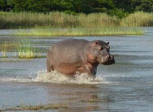 Hippopotamus-South-Africa