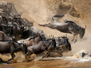 wildebeest 2 - Copy