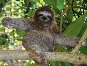 costa_rica_sloth_0 - Copy (2)