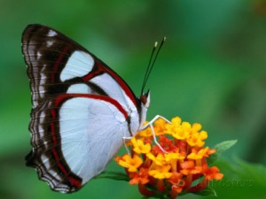 tom-boyden-nymphalid-butterfly-native-to-the-rainforests-of-costa-rica