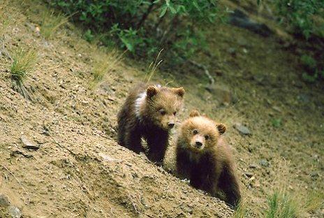 Alaska. Denali NP. Grizzly bear cubs (Ursus arctos).