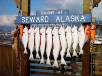 Caught at Seward, Alaska