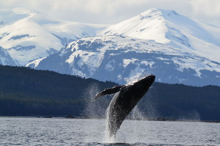 humpback-whale-breaching-near-auke-bay-ak-photo_6637378-fit468x296