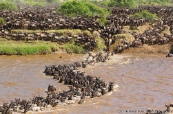 The river current drags the wildebeest into a curve as they cross the Mara River.