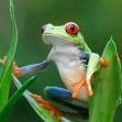 costa-rican-frog1