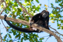 howler-monkey-on-a-branch-at-cabo-blanco-reserve