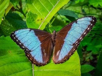 morpho-helenor-butterfly-las-palmas-butterfly-garden-2-copy
