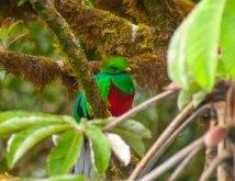 quetzal-in-monteverde