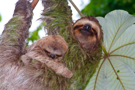 sloths-on-cecropia-tree-manuel-antonio