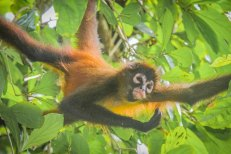 spider-monkey-corcovado-national-park-la-leona-station-costa-rica