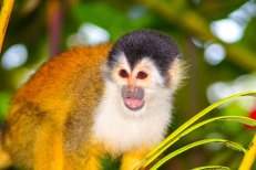 squirrel-monkey-corcovado-copy-4
