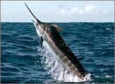 blue-marlin-badmed