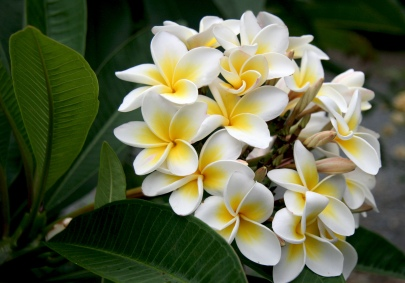 White-Plumeria-flowers-28658808-2000-1400 - Copy (3)