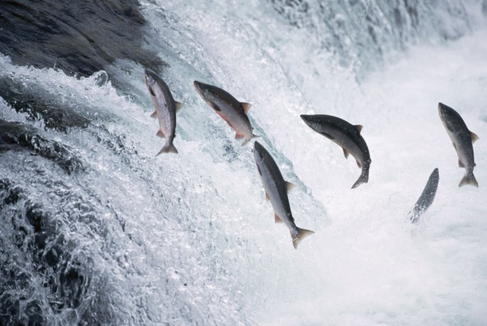 18 Aug 1995, Brooks Falls, Katmai National Park and Preserve, Alaska, USA --- Several salmon jump in Brooks Falls, over which they must swim to reach their spawning grounds. --- Image by © Kevin Fleming/CORBIS