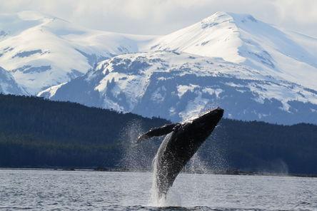 humpback-whale-breaching-near-auke-bay-ak-photo_6637378-fit468x296 - Copy (2)
