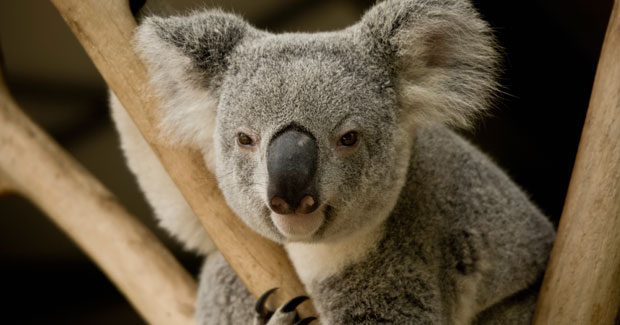 Koala_crGettyImages_main