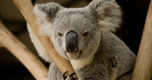 Koala_crGettyImages_main
