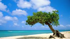 divi-tree-aruba - Copy