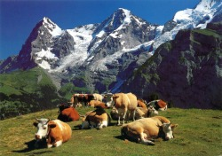 cows on mountain - Copy - Copy