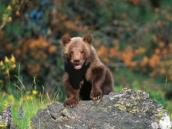 grizzly-bears-are-a-thrilling-sight-on-an-alaskan-cruise-tour-through-denali-national-park-281474979306867